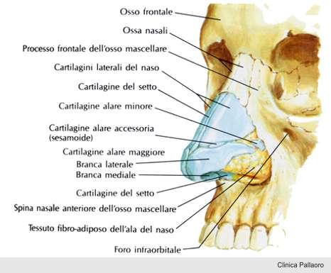 anatomia naso rinoplastica